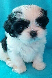 Tshit zue puppies for sale