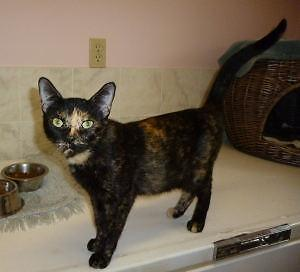 Young Female  - Tortoiseshell-Domestic Short Hair