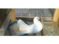 Pure white fantail dove