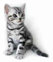 Good home looking for silver tabby female kitten