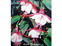 """Fuchsia Assorted Hardy Varieties in 1Lt 13cm 5"""" Pots at £1.00 each"""