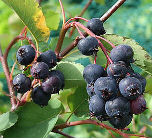 Fruit or Berry Plants