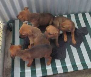 X Breed (female pups) are ready for adoption. York York Area Preview