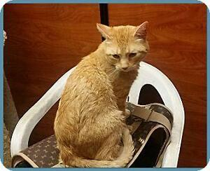 "Adult Male Cat - Tabby - Orange: ""Oliver"""