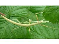 Stick Insects for sale Indian variety.