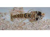MARINE FISH / NICE SIZE TIGER PISTOL SHRIMPS