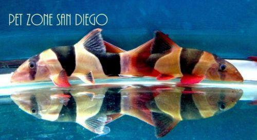 Clown loach live fish ebay for Ebay live fish