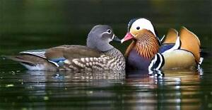 Mandarin ducks, White Mandarin ducks.