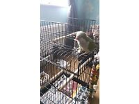 Quaker Parrot For Sale With Cage