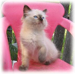 """Ragdoll Kittens """"FOR THOSE WHOM ONLY EXPECT THE VERY BEST """" Labrador Gold Coast City Preview"""