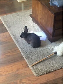 Black baby bunny rabbit comes with large indoor cage / water bottle / sawdust /grass & food nuggets