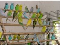 BUDGIES £20 + CAGES