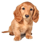 RED- Long Haired Miniature Dachshund puppy WANTED