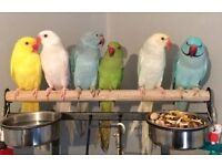 indian ringneck - jendaya Conure - quaker - alexandrine parrotlets for sale + cage & del option