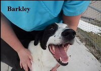 BARKLEY IS A WONDERFUL BOY LOOKING FOR A LOVING HOME.