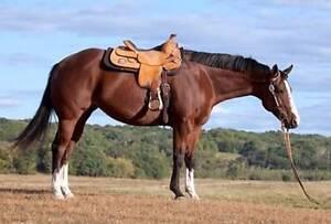 need stallion to borrow for breading Gympie Gympie Area Preview