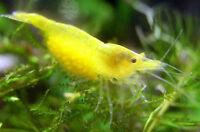 Crevette Jaune pour aquarium eau douce