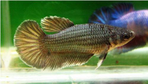 Female betta live fish ebay for Ebay live fish