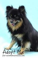 "Young Female Dog - Pomeranian: ""Dahlia"""