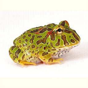 Large Variety Of Pacman Frogs