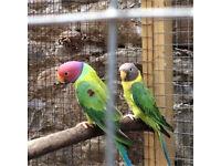 Plumbhead parakeets