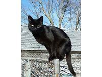 Jet black cat for sale