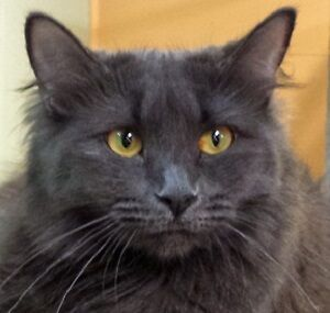 Meow Foundation's lovely Okey looking for loving home!