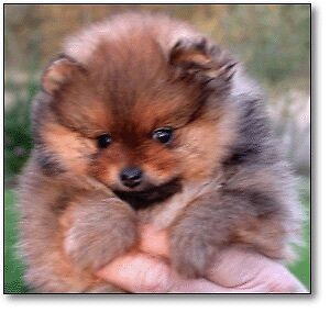 Looking for a purebred Pomeranian puppy.