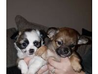 2 beautiful female chihuahua puppies