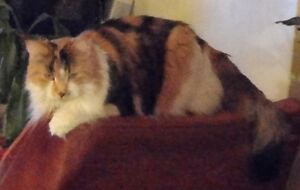 Missing Female Calico Cat, Terrace Heights April 18, 2015