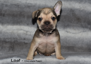 French Bulldog Puppies Mount Cotton Redland Area Preview