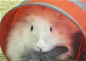 """Young Female Rabbit - Lionhead: """"Lucy"""""""