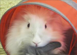 "Young Female Rabbit - Lionhead: ""Lucy"""