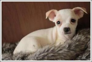 "Baby Male Dog - Chihuahua: ""Victor"""