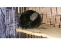 Baby Chinchillas 3 months old