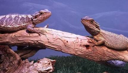 Pair of Dwarf Bearded Dragons Nyabing Pallinup Area Preview
