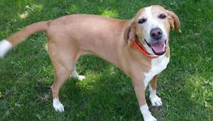 "Adult Female Dog - Coonhound-Hound: ""Ella - Adoption Pending"""