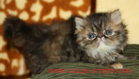 Pure Breed Persian kittens/cats