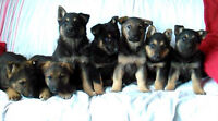 German Shepherd Puppies For Sale - Place Your Order Now