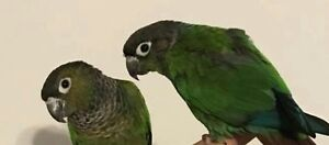 Pair of tame green cheek conures