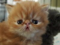 EXOTIC SHORTHAIR AND LONGHAIR KITTENS FOR SALE