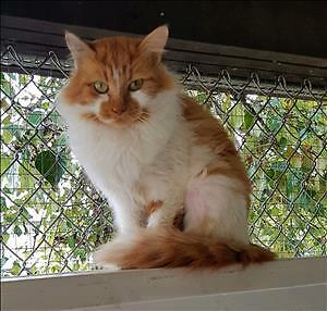 "Young Female Cat - Domestic Long Hair: ""Copper"""