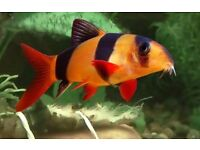 3 Clown Loach | £7 each or 3 for £20 | 2 Inches | Tiger Loach | Tropical Freshwater Fish