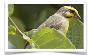 Look for while tip green singing Finch