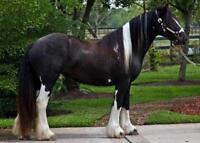 Free Registered active gypsy vanner horses available for adoptio