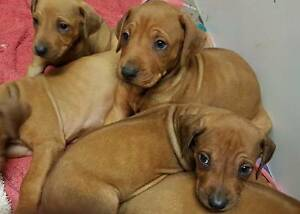 Purebred Rhodesian ridgeback puppies Dural Hornsby Area Preview