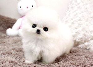 Looking for a teacup dog