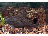 fancy catfish cheap ! Needs a good home !