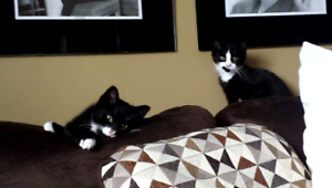 Brother-Sister kittens for Free
