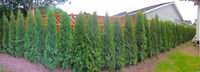 **** EMERALD CEDAR HEDGES FOR SALE **** We deliver and install